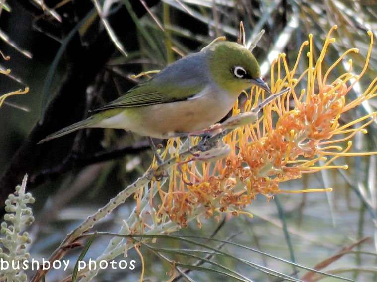 silvereye_honeygem grevillea_named_home_may 2018