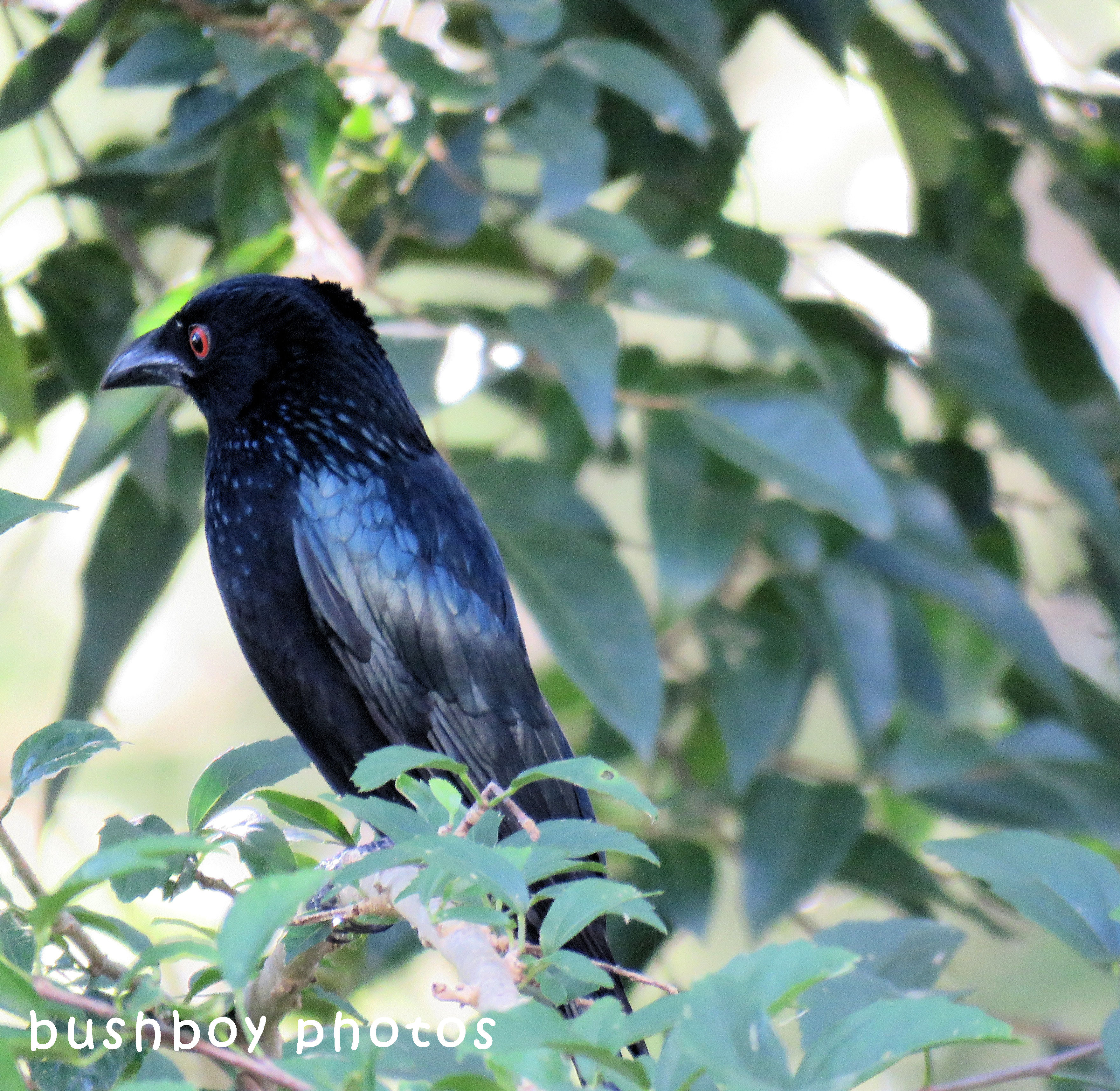 spangled drongo_look back_named_binna burra_april 2018