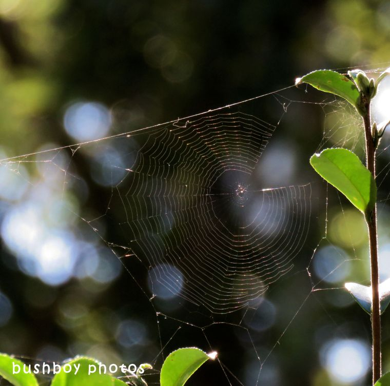 spider web_golden_named_binna burra_may 2018