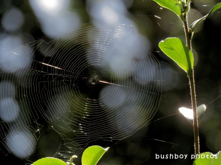 spiders web_gold_named_binna burra_april 2018