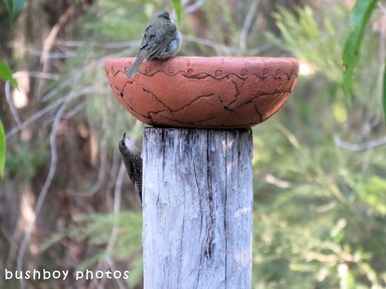 white throated treecreeper_lewins honeyeater_bird bath_named_home_may 2018
