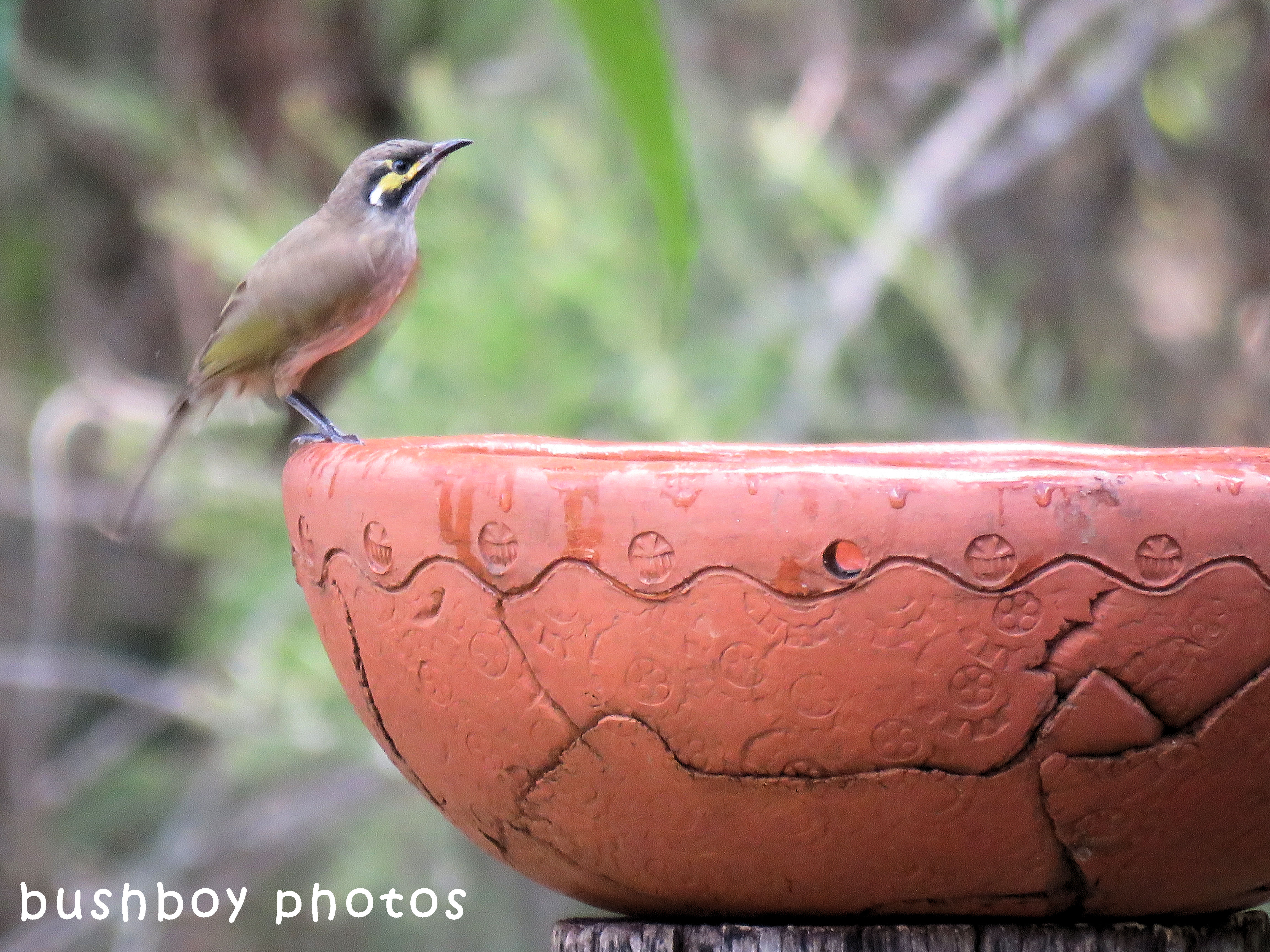 yellow faced honeyeater_bird bath_named_home_april 2018