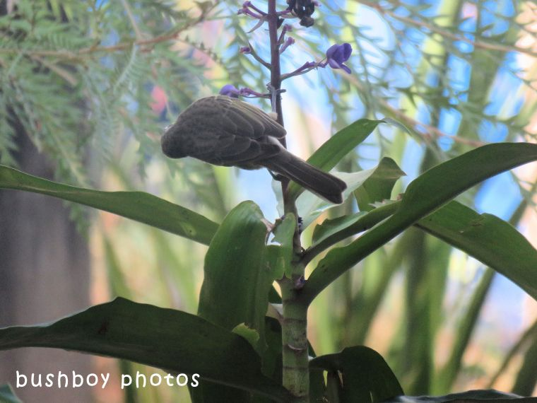 yellow faced honeyeater_blue ginger01_named_home_april 2018