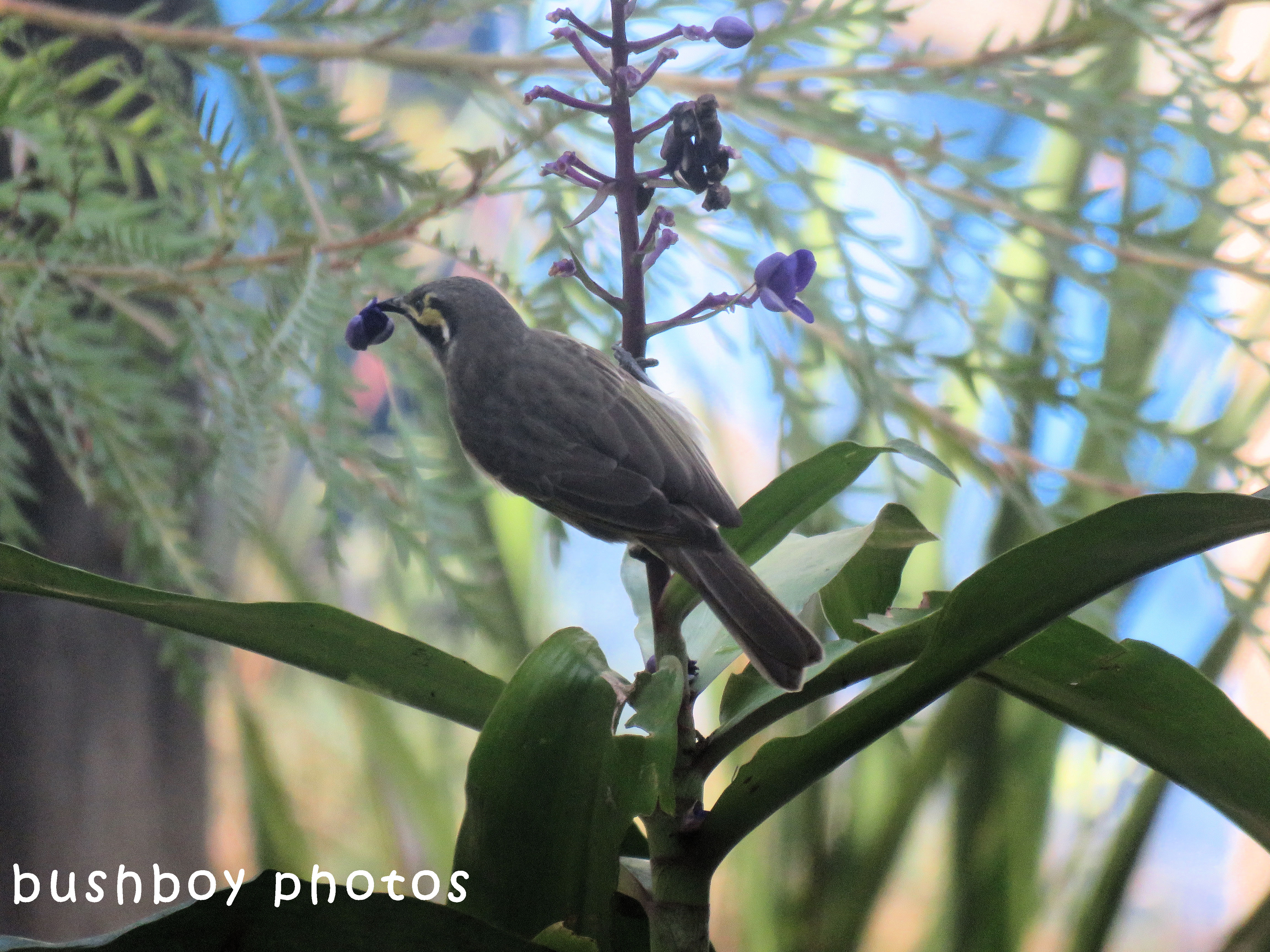 yellow faced honeyeater_blue ginger02_named_home_april 2018