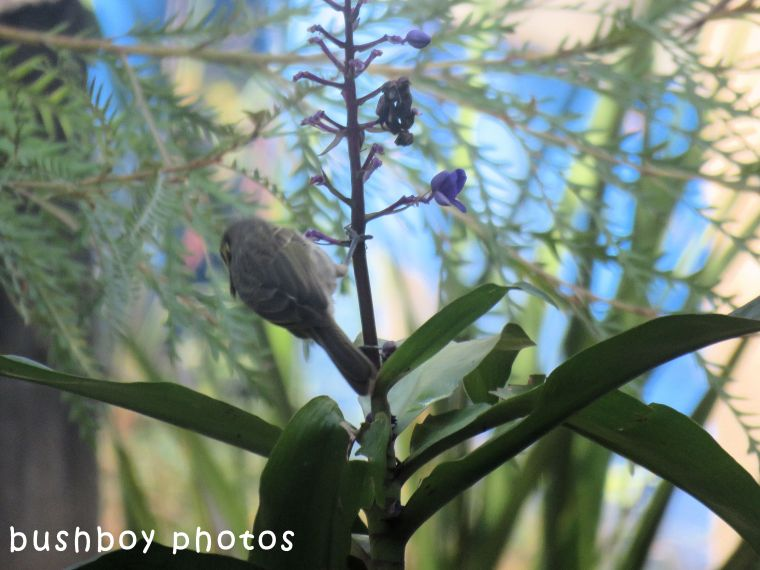 yellow faced honeyeater_blue ginger03_named_home_april 2018