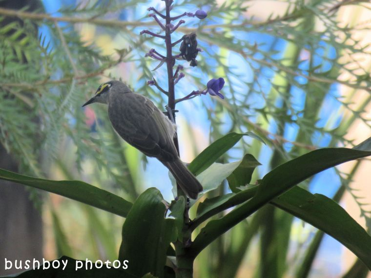 yellow faced honeyeater_blue ginger04_named_home_april 2018