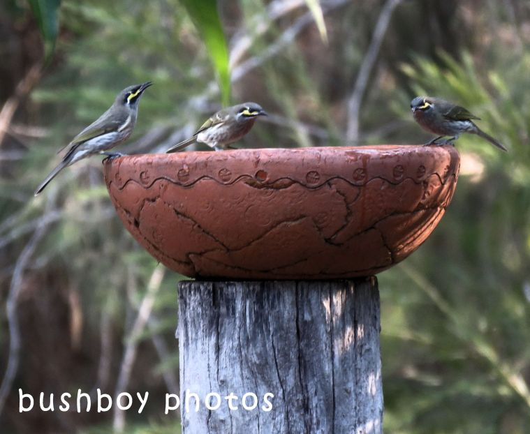 yellow faced honeyeaters_birdbath_named_home_may 2018
