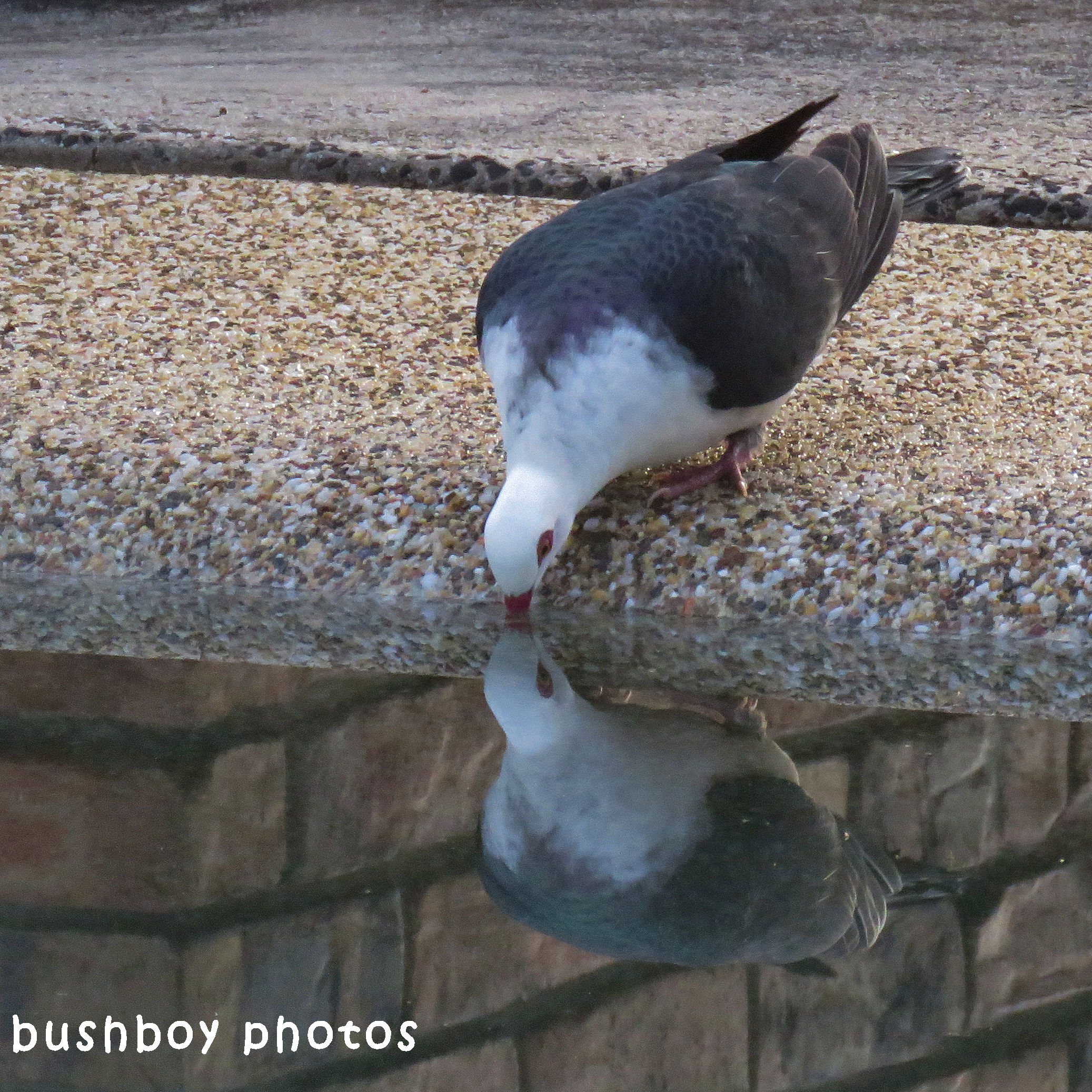 180611_blog challenge_reflective_white headed pigeon_drinking