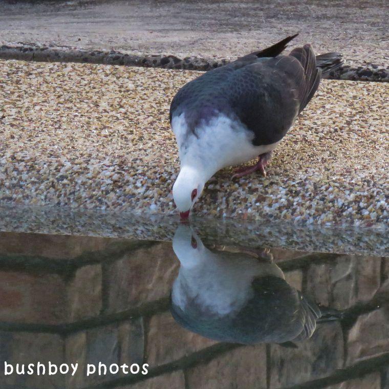 180611_blog challenge_reflective_white headed pigeon_drinking