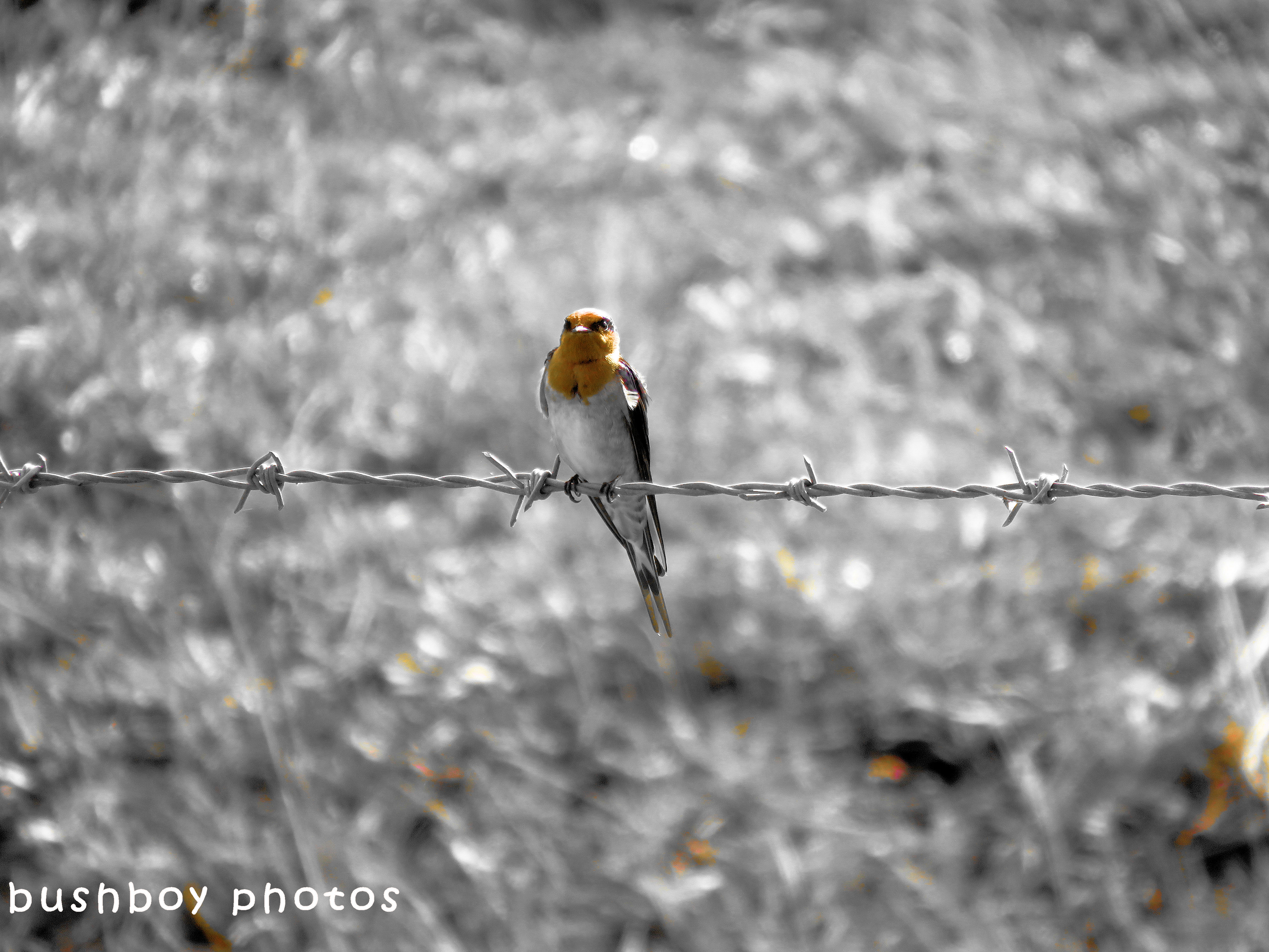 180622_blog challenge_horizontal_blackandwhite_welcome swallow_barbed wire