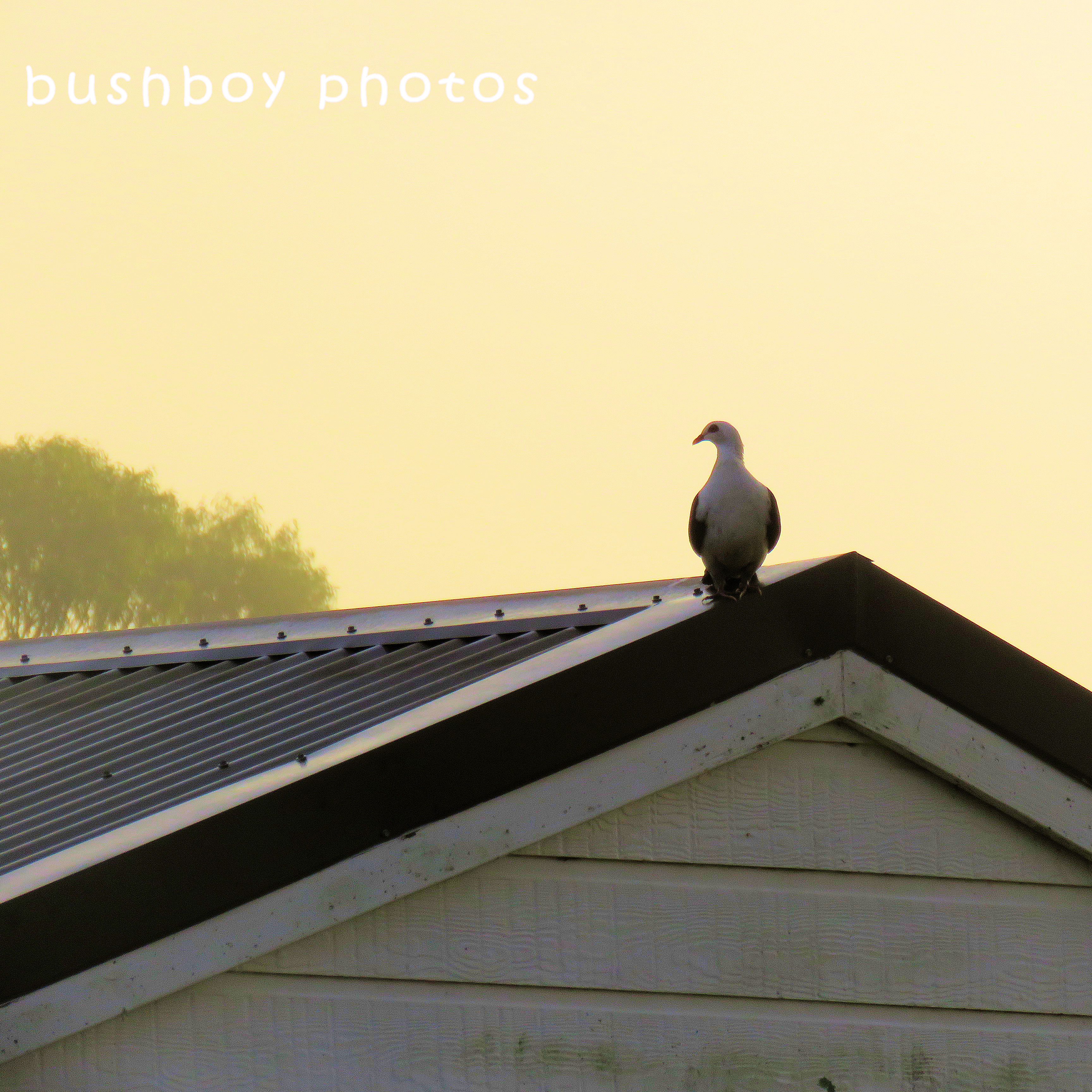 180627_square rooves_white headed pigeon_pool shed_caniaba
