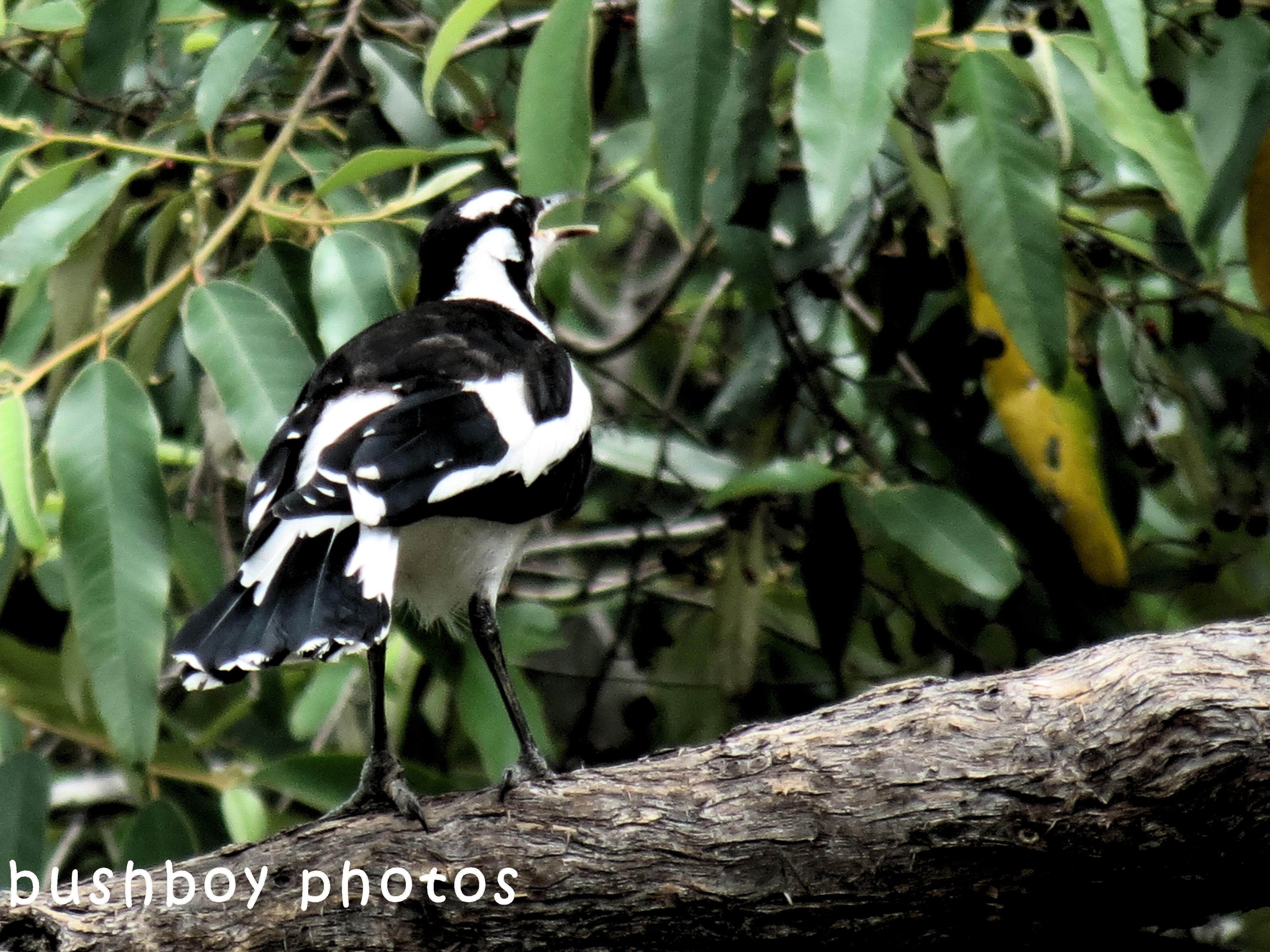 180629_blog challenge_black and white_birds_magpie lark