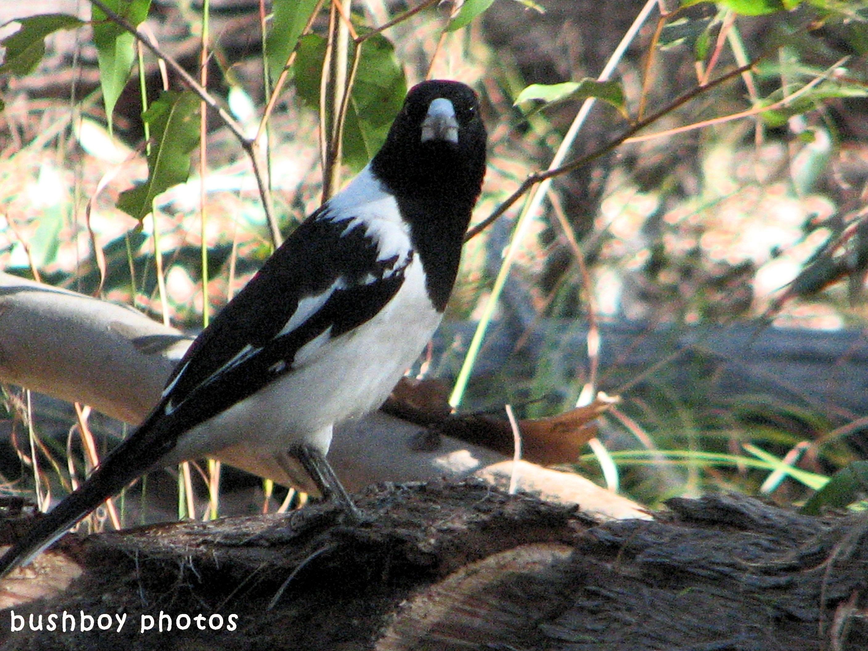 180629_blog challenge_black and white_birds_pied butcher bird