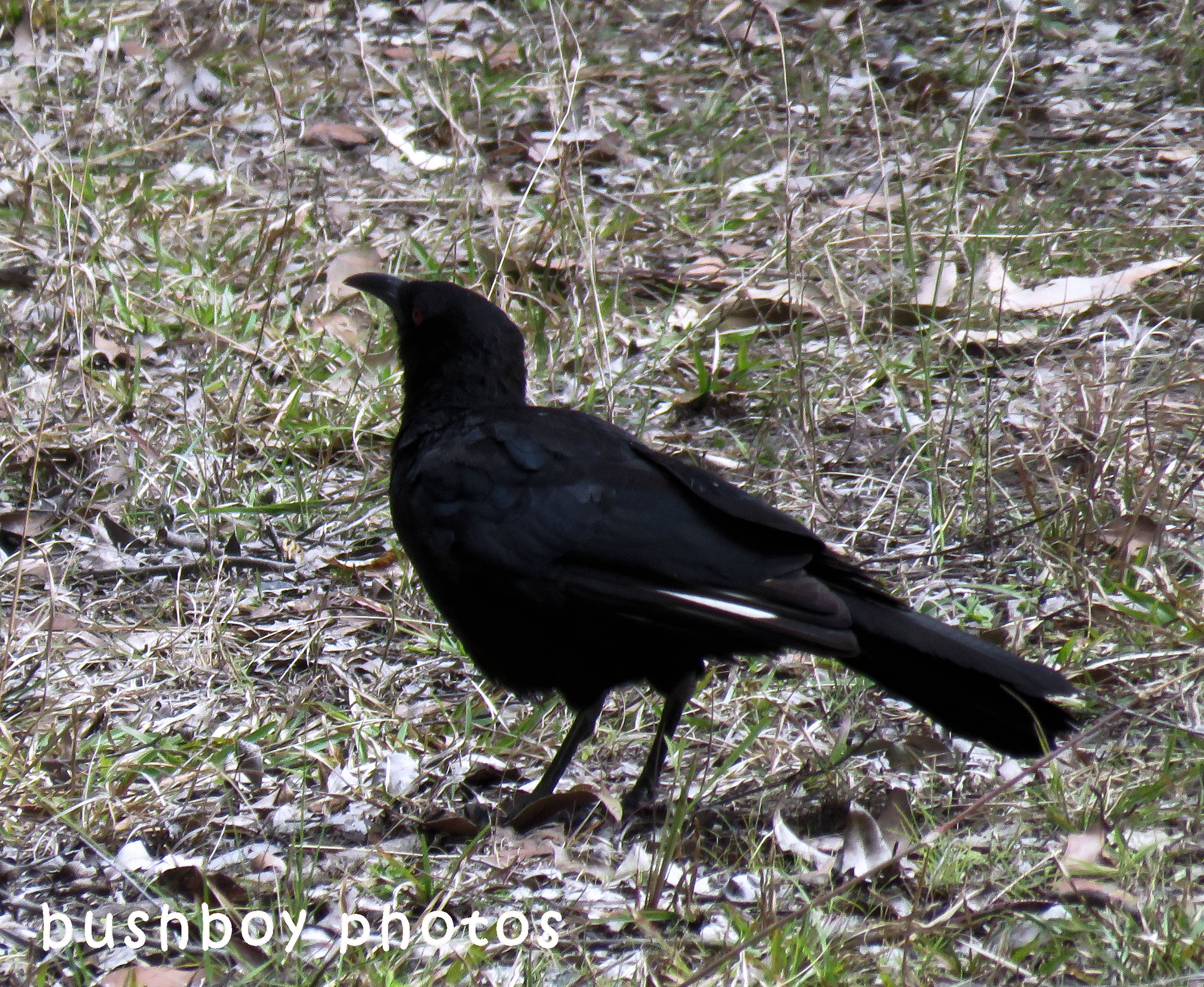 180629_blog challenge_black and white_birds_white winged chough