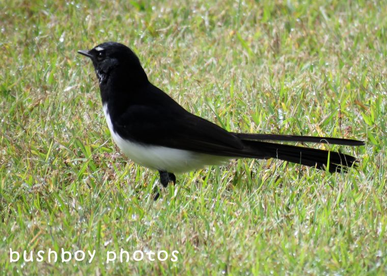 180629_blog challenge_black and white_birds_willie wagtail