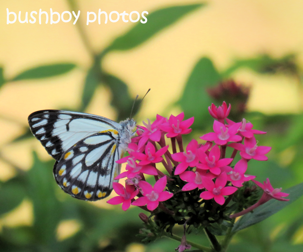 caper white butterfly_named_small_home_nov 2106