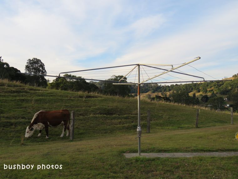 cow_clothes line_named_caniaba_june 2018
