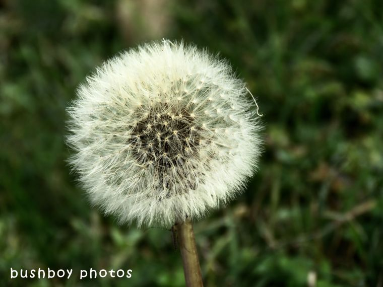 dandelion seed head_named_caniaba_june 2018