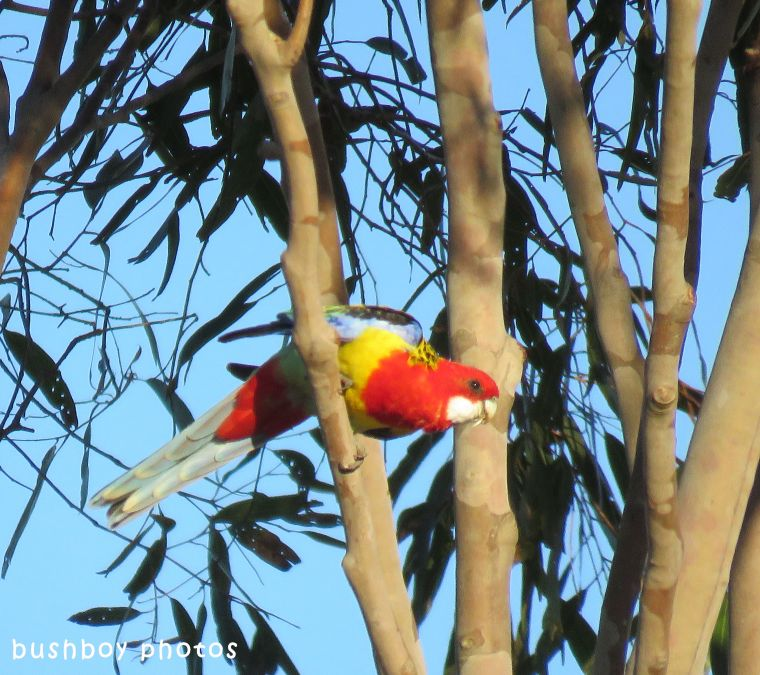 eastern rosella_named_caniaba_june 2018