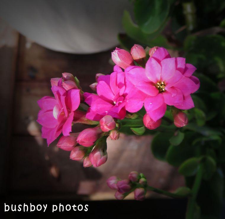 kalenchoe flower_named_home_hune 2018