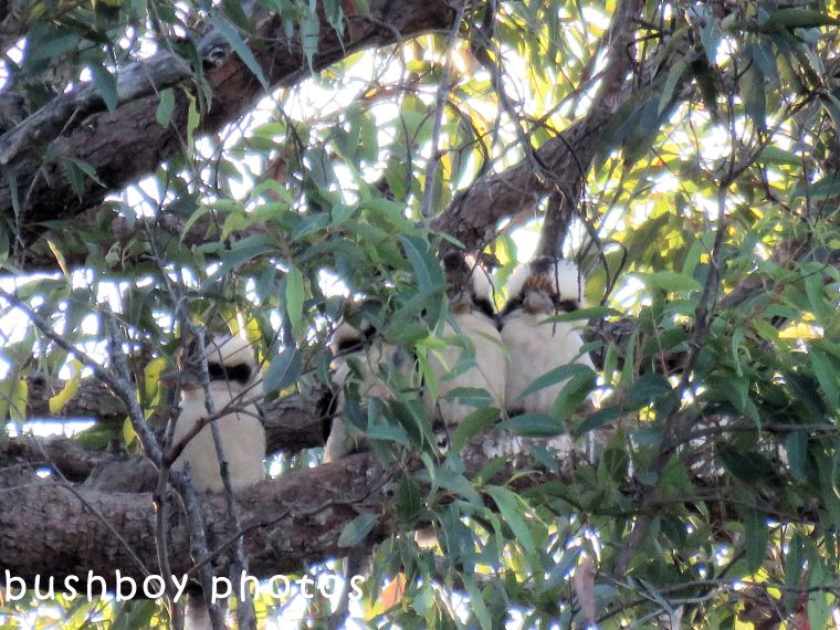 kookaburras_named_lilydale_june 2018