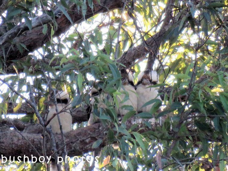kookaburras_named_lilydale_june 2018