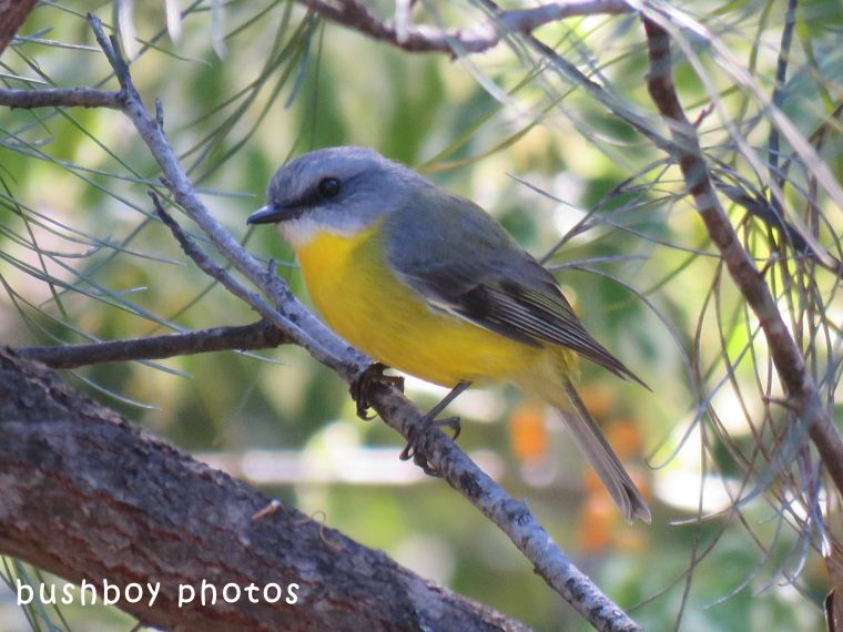 northern yellow robin_named_home_june 2018