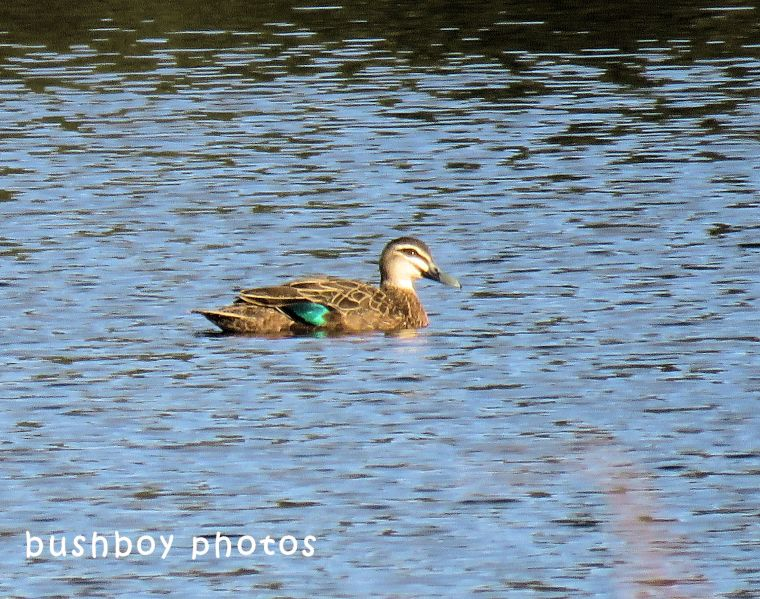 pacific black duck_named_caniaba_june 2018