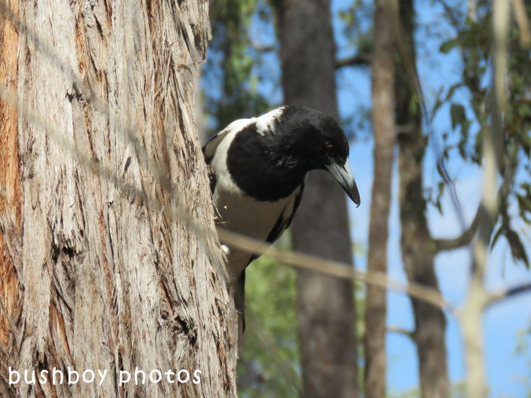 pied butcher bird01_chain saw_named_home_july 2018