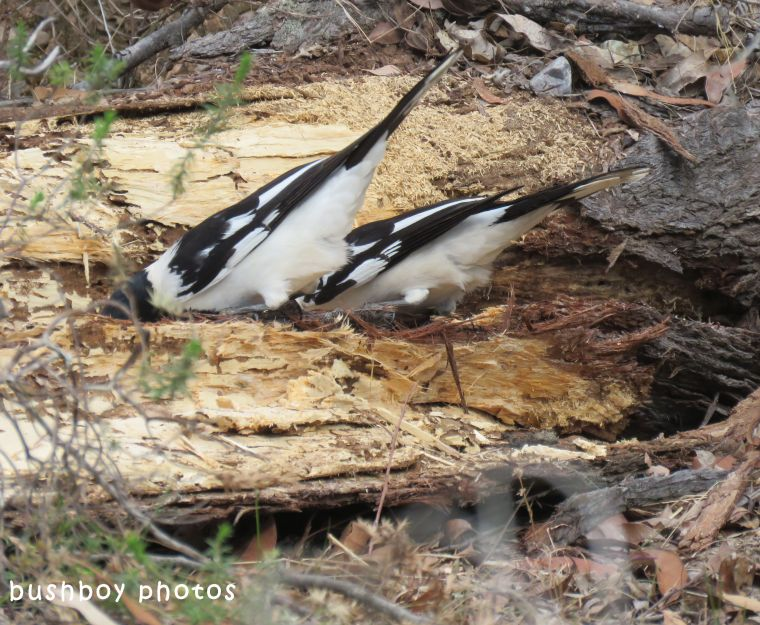 pied butcher bird04_chain saw_named_home_july 2018