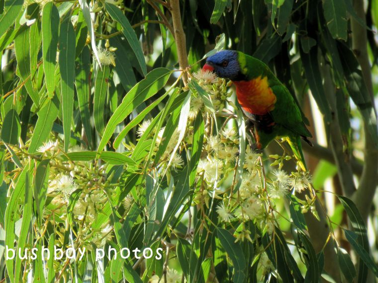 rainbow lorikeet_named_caniaba_june 2018