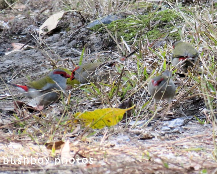red browed finches_named_home_june 2018