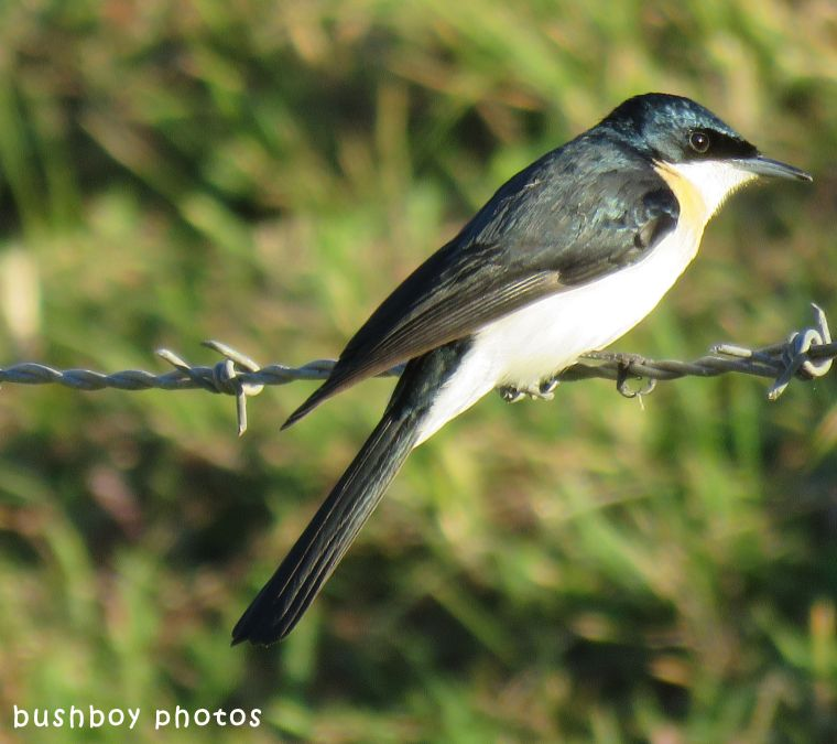 restless flycatcher_named_caniaba_june 2018