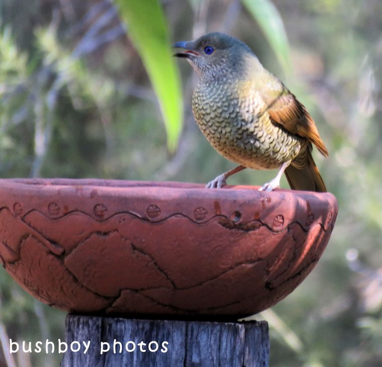 satin bowerbird_female_bird bath_named_home_june 2018