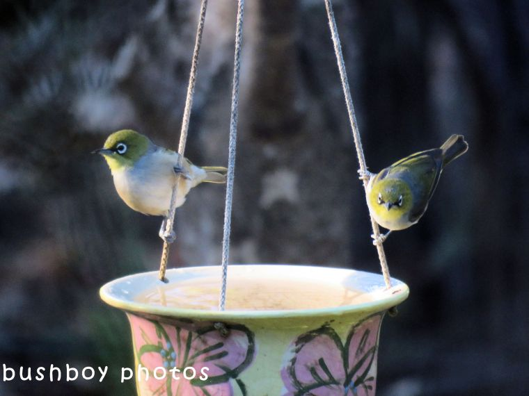 silvereyes_hanging pot_named_home_june 2018