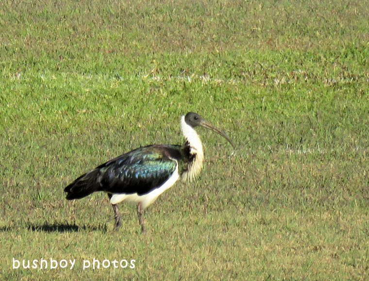 straw necked ibis_named_lismore_june 2018