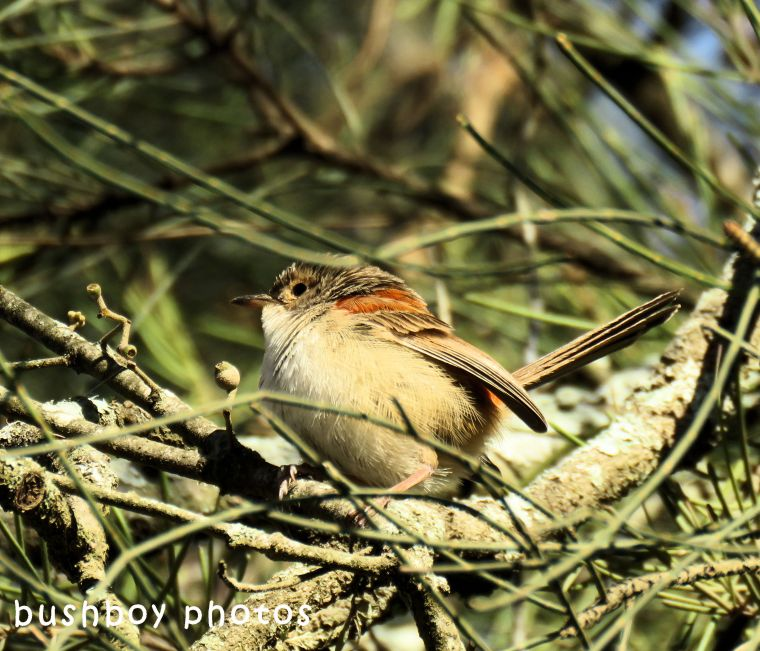 vareigated fairy wren_young_named_caniaba_june 2018