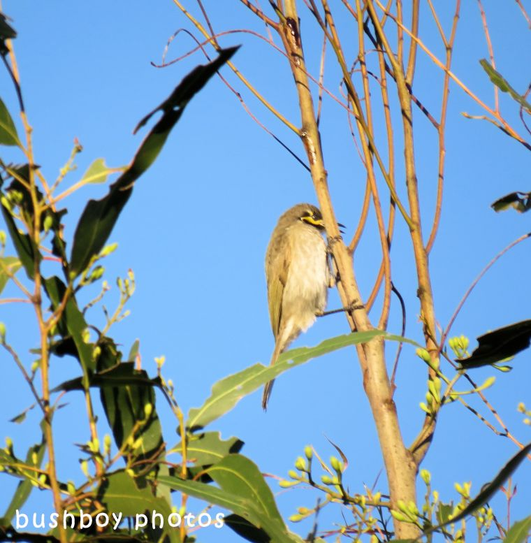 yellow faced honeyeater_named_caniaba_june 2018