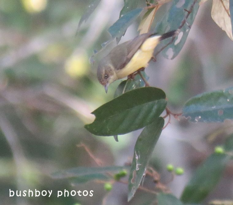 yellow rumped thornbill_named_home_june 2018