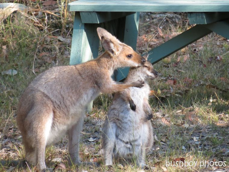170810_blog challenge_upright_wallabies01