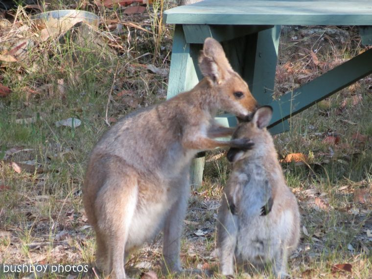 170810_blog challenge_upright_wallabies02