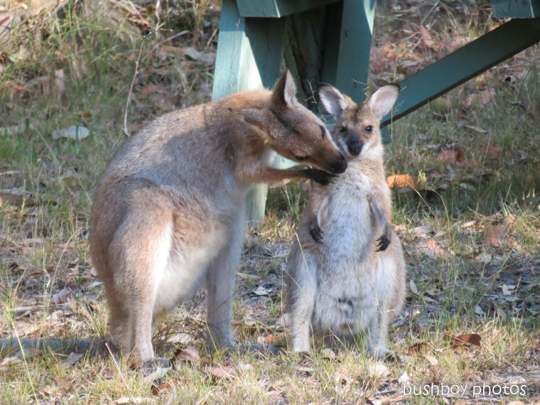 170810_blog challenge_upright_wallabies03