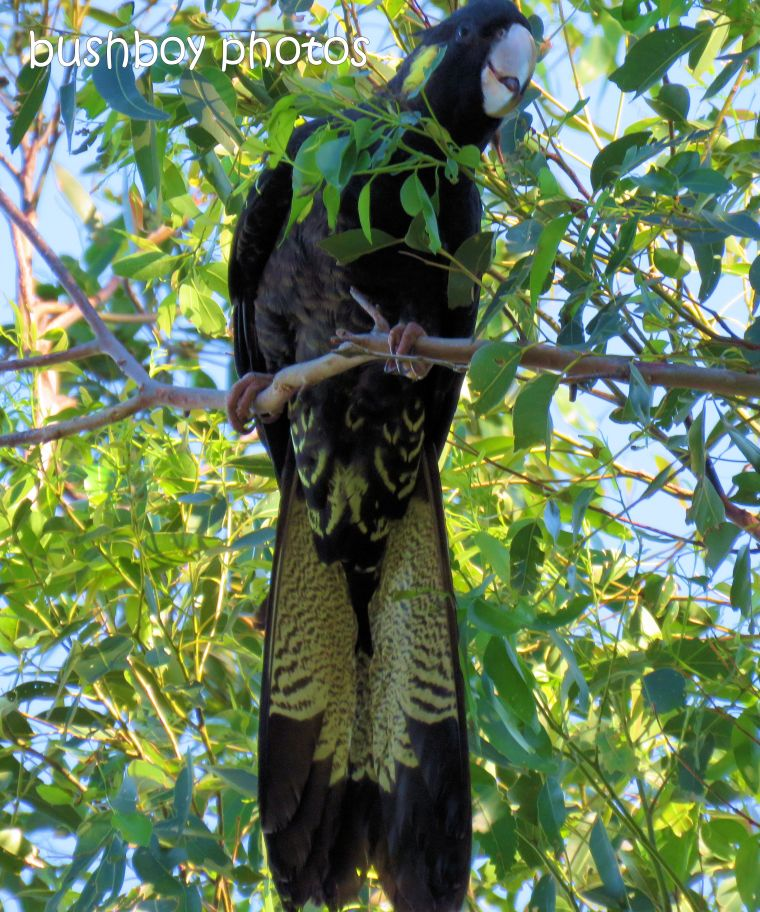180812_patterns_yellow tailed black cockatoo