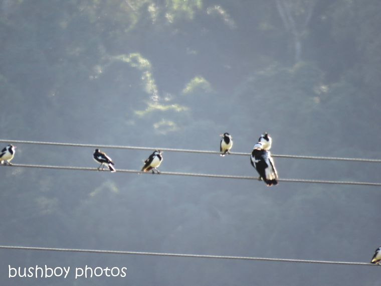 180817_blog challenge_powerlines_pee wees_magpie02