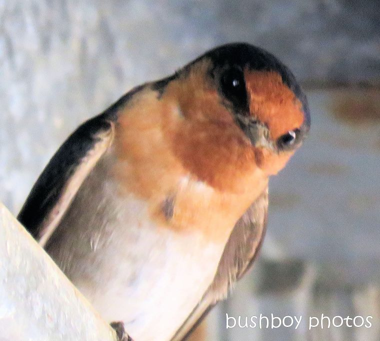 180819_blog challenge_close up_welcome swallow