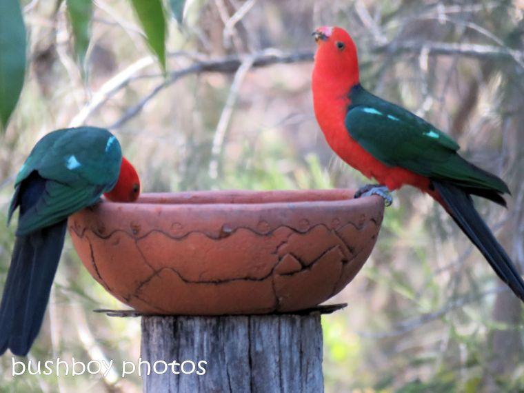 180822_blog challenge_scene_birdbath3_king parrots