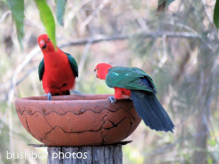 180822_blog challenge_scene_birdbath4_king parrots