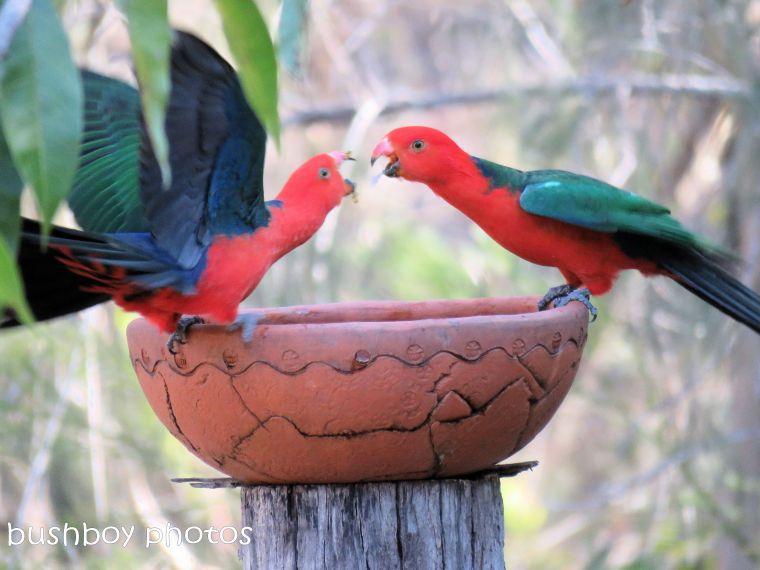 180822_blog challenge_scene_birdbath5_king parrots