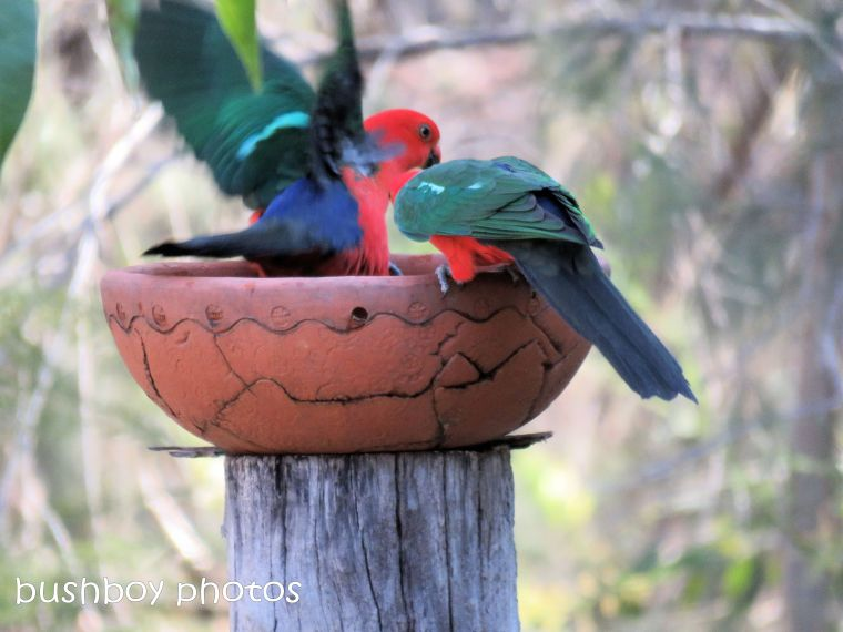 180822_blog challenge_scene_birdbath6_king parrots