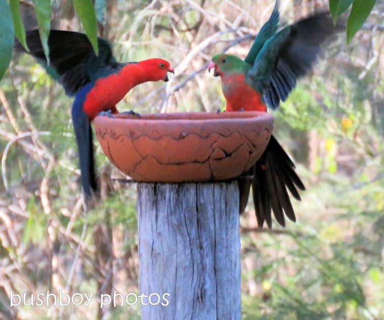 180822_blog challenge_scene_birdbath7_king parrots